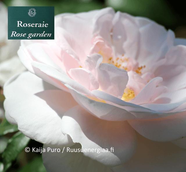 ruusut rivieralla ephrussi ruusutarha ruusuenergiaa.fi