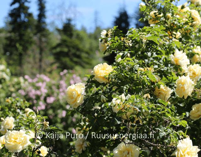 Ruusu Agnes Meilahden ruusutarha Ruusuenergiaa.fi