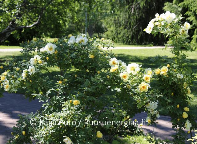 Ruusu Aicha Meilahden ruusutarha Ruusuenergiaa.fi