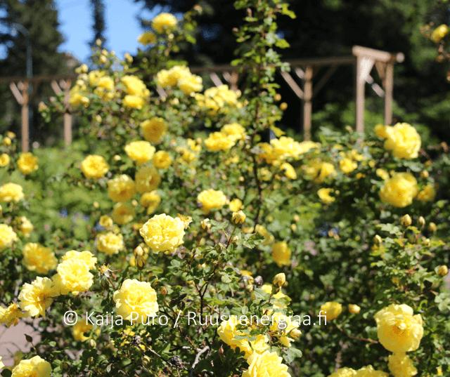 Ruusu Aurora Meilahden ruusutarha Ruusuenergiaa.fi