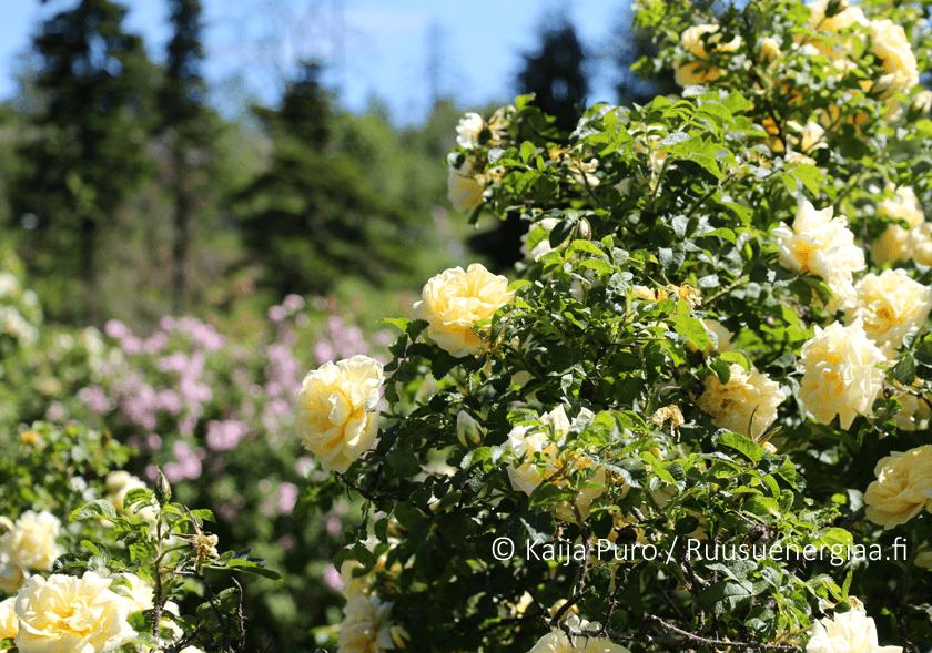 Meilahden ruusutarha – kauneutta lähes koko kesäksi