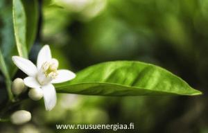 ruusuvesi-vai-appelsiininkukkavesi nerolivesi ruusuenergiaa.fi Kaija Puro