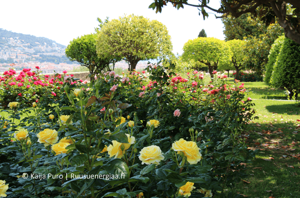 eteerinen-oljy-luostarin-ruusutarha-ruusuenergiaa.fi-ruusut-jardin-du-monastere-de-cimiez-ranskan-riviera