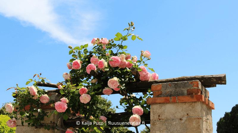 Luostarin ruusutarhassa eteerisen öljyn siivittämänä