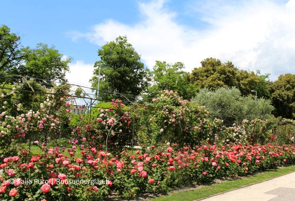 Luostarin-ruusutarha-ruusuenergiaa.fi-ruusut-jardin-du-monastere-de-cimiez-ranskan-riviera